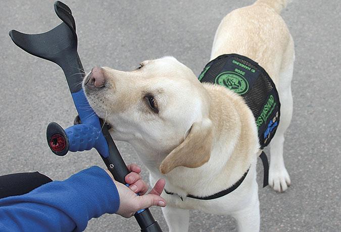 En vitbeige hund ger en krycka till en person vars hand syns i bildens nederkant. Hunden har ett svart täcke.